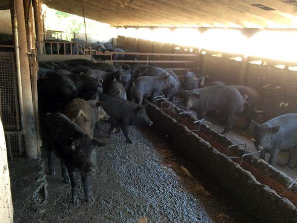 black pigs in Macedonia, Greece
